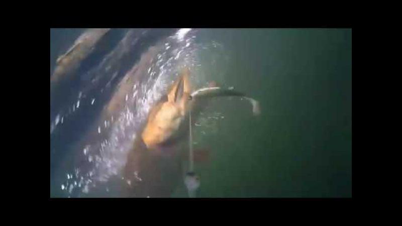 Атака щуки и окуня под водой. Лучшие кадры подводной съемки
