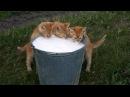 Смешные кошки приколы про кошек и котов 2017 23 Кошки любят молоко