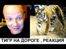 Уссурийский тигр На дороге Реакция американца Американский профессор на русском.