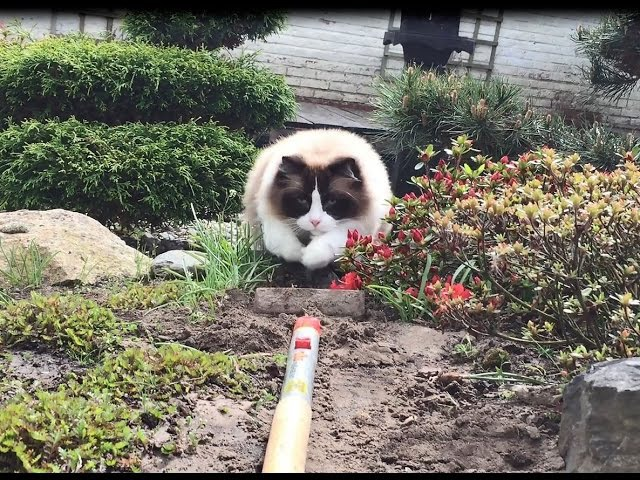 Gardening With Timo the Ragdoll Cat Around (isn't easy)