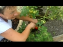 томаты первые на мой день рождения