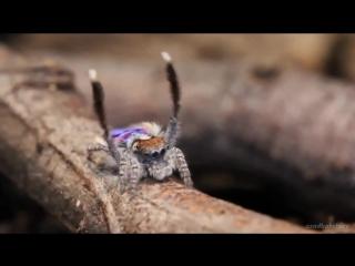 Танцующий павлин паук. Брачный танец