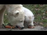 Polar Bear Cub at Munich Zoo Hellabrunn