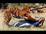 Самые опасные хищники планеты. Животные-людоеды. Голодные тигры. Нападения тигр ...
