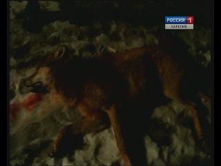 Волки держат в страхе жителей карельских деревень