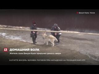 Житель Чечни приручил дикого волка