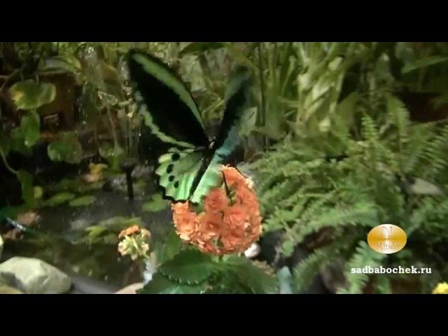 Орнитоптера Приам в Саду Живых Бабочек