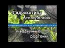 Гидрокотила белоголовая Щитолистник белоголовый Hydrocotyle leucocephala