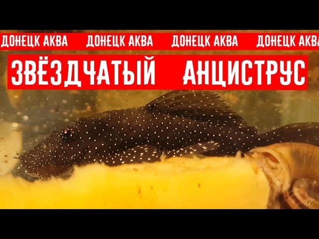 Анциструс звездчатый Ancistrus hoplogenys Ancistrus魚 Ancistrus fish Peces Ancistrus