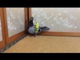 Голубь катает попугая