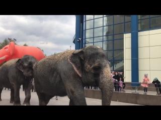 Кормление слонов-великанов в Тюмени