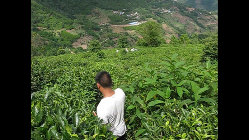 На чайной плантации в Айлао. Кусты возрастом 70 лет.