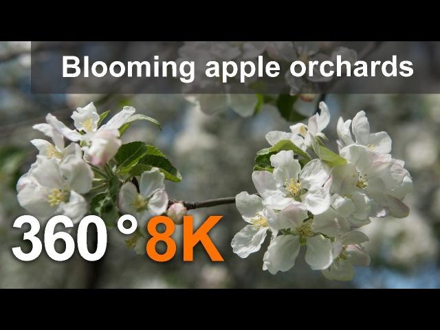 360° видео, Цветение яблоневых садов. Москва, Коломенское