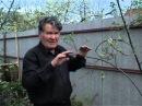 Валерий Панов Как заставить молодое дерево раньше начать плодоношение