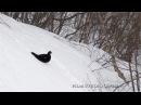 Caucasian Grouse Кавказский тетерев Sleeping in the snow