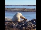 Polar bear can't stop stroking dog...
