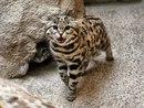Черноногие африканские кошки - одни из самых мелких современных представителей семейства к…