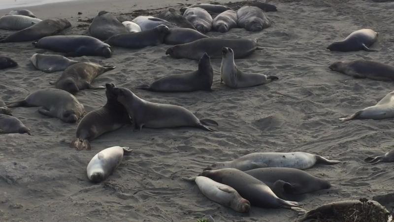 Морские котики отдыхают на пляже)) San Semion, Kalifornia
