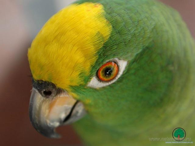 Хороший говорящий попугай Гоша