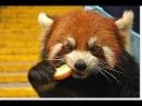 Прикольная малая красная панда