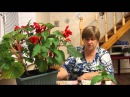 Секрет укоренения комнатных растений. Бегония.