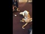 Эта собака настолько хорошо притворяется мертвой, что пугает другого пса