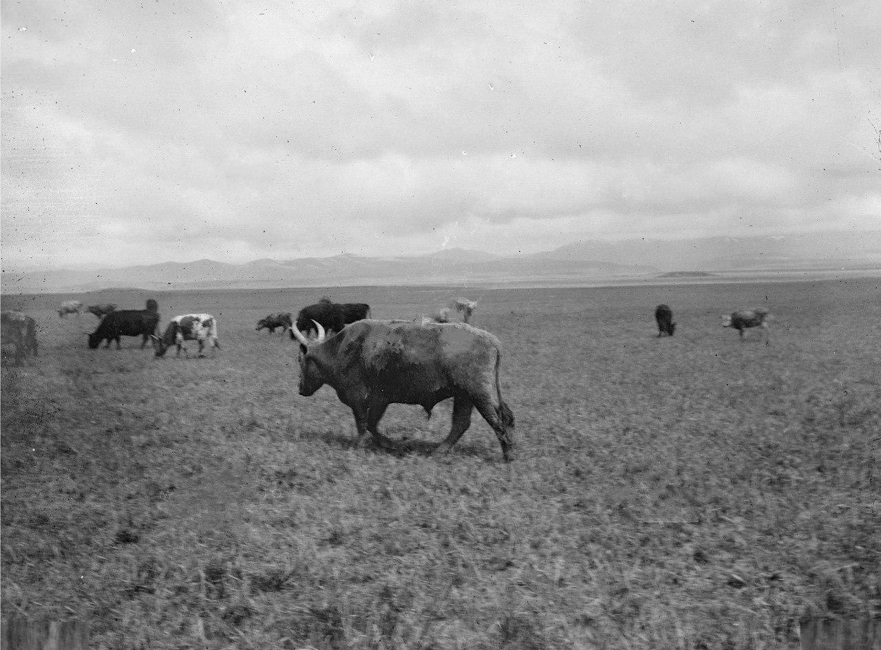 Калмыцкий скот на пастбище в южной части долины реки Текес