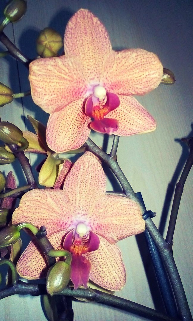 Loveplanet орхидеи