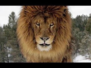 Людоеды: Львы \ Animal Planet