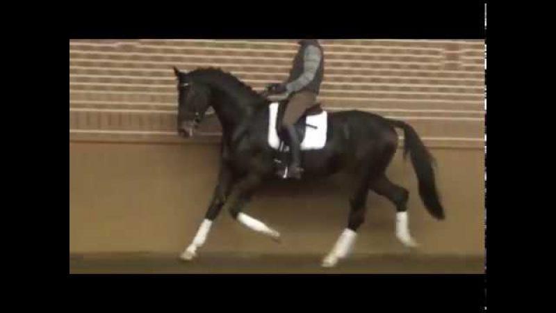 For saleBanderas 4y.stallion,Oldenburger,1.76m ,v. Bon Bravour- mv. Donnerschwee
