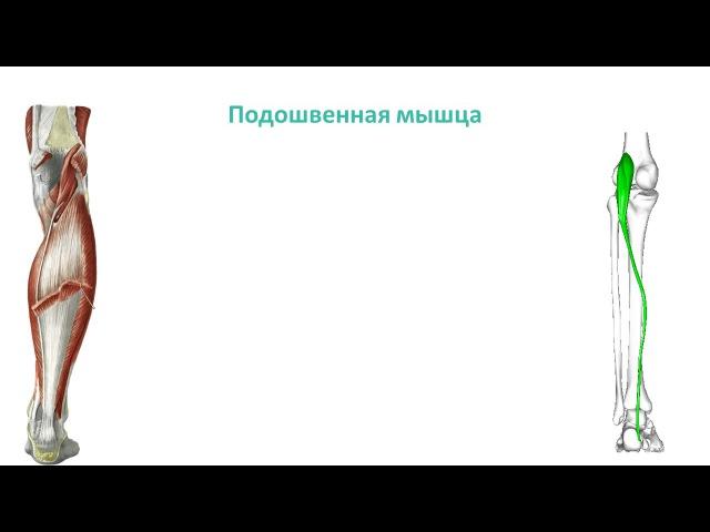 Мышцы голени топография, строение, функции