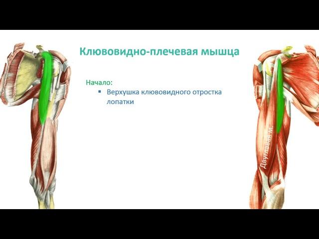 Мышцы пояса верней конечности и плеча: топография, строение, функции