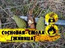 Выживание в лесу Сосновая смола Живица Pine resin galipot using