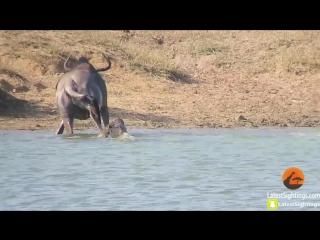 Бегемоты отбили Антилопу Гну у Крокодилов.
