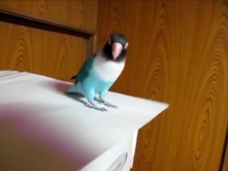 Попугай танцует ирландские танцы!
