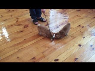 котята из LITTER 10.продажа. кот и кошка Орфей и Октавия подробнее на сайте pelmapraide.ru или по телефону 8-962-391-23-34