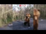 Огромный голодный медведь в Приморском крае выходит к дороге за едой