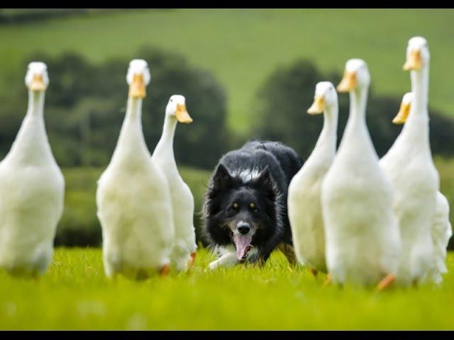 Border Collie Herding Flock of Ducks - Dog Tricks