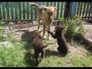 Щенки достали собаку. Пес завыл. Один щенок описался от страха.