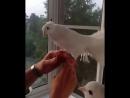 Предлагаем прекрасных белоснежных голубей на фотосессию. Вопросы по тел. 8 914 901 56 61, Марина