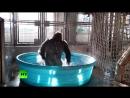 Король брейка_ танцующая горилла стала звездой интернета
