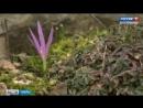 Необычное растение - альпийский цветок Брандушка впервые расцвел в Ботаническом саду ТвГУ