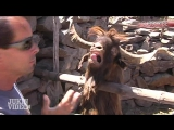 Ibex Goat Gets Angry Throwback Thursday