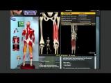 Наглядная биомеханика: Задняя поверхность бедра