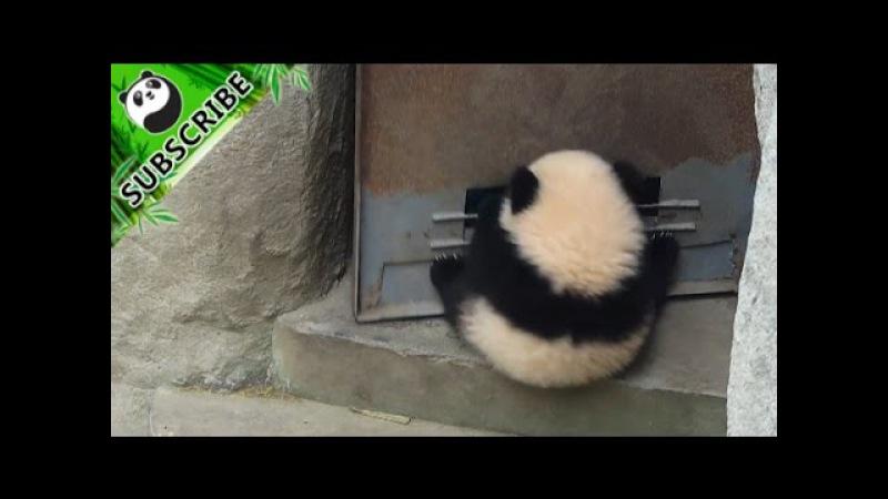 Panda baby hangs on door when it opens and has fun!