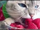 Кот вегетарианец - Приколы с животными