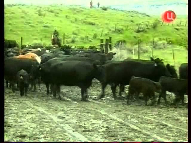 Мясное скотоводство США