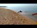Дельфин охотится у самого берега