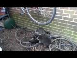 Три енота подрались из-за велосипеда
