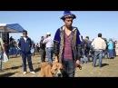 Тазы и Тобет , казахские национальные породы собак